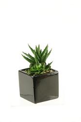 """Echeveria And Aloe Plant- 7.5""""H, 91776"""