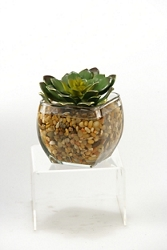 """Echeveria In Glass- 5""""H, 92349"""