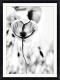 "Poppy Framed Photography Print - 36""W x 48""H, 92620"