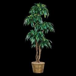 Mango Tree in Basket - 7 Ft., 87707