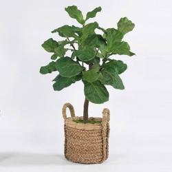 Fig Tree in Basket - 4.5'H, 82355