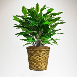 Green Spathiphyllum in Woven Basket - 3 Ft., 87375
