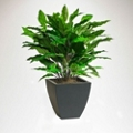 Potted Spathiphyllum - 3 Ft.