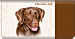 Chocolate Lab Checkbook Cover